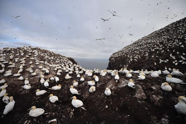 Gannets nest on Bass Rock in the Firth of Forth on June 18, 2012 in Dunbar, Scotland. Every January Atlantic gannets start returning to Bass Rock, with 150,000 or more making it the largest single roc