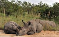 Rhinoceros rest in Kruger National Park near Nelspruit, South Africa, February 6, 2013