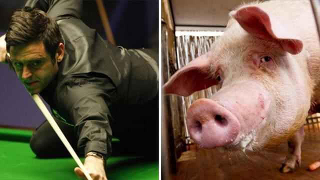 Snooker - O'Sullivan working as farm labourer