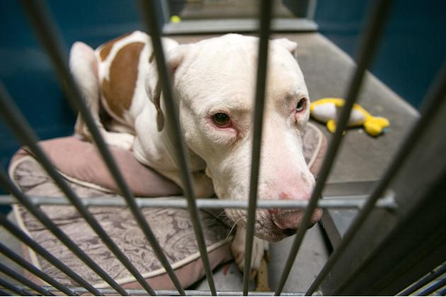 This March 11, 2014 photo shows Mickey, a pit bull, at West Valley Animal Care Center in Phoenix, Ariz. Mickey attacked four-year-old Kevin Vicente on Feb. 20, 2014. Mickey is now the object of a Face