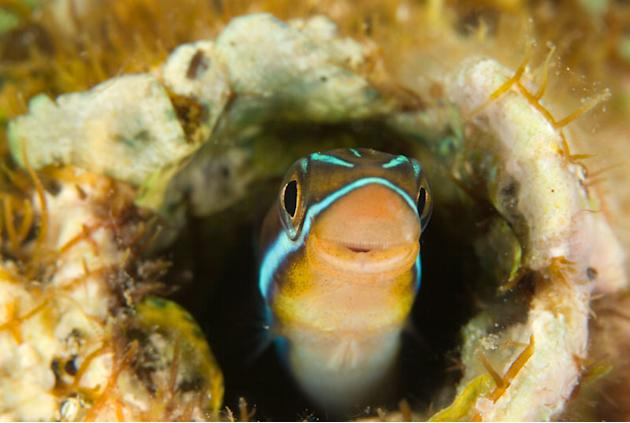 Bluestriped Fangblenny (Plagiotremus rhinorhynchos) in a worm hole, New Britain, Papua New Guinea. Copyright:              © Jurgen Freund / WWF-Canon
