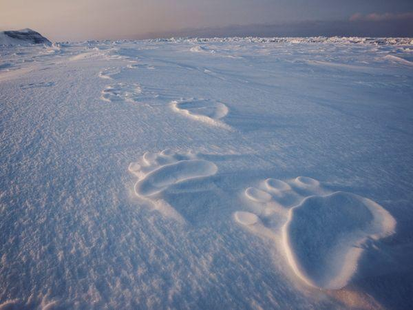 Polar Bear Tracks, Svalbard