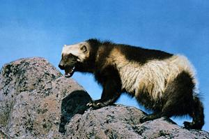 Wolverines May Be Listed as Endangered