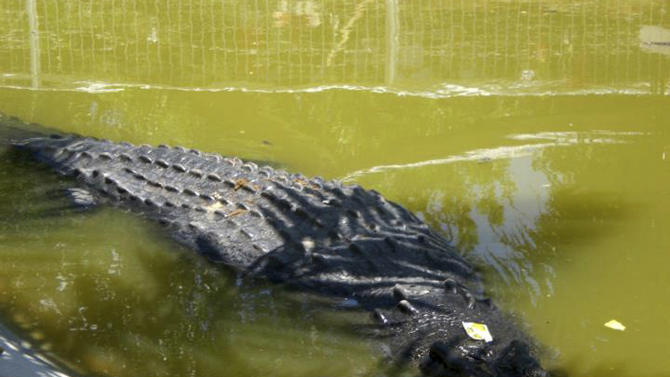 "A saltwater crocodile swims in a shallow pond inside its temporary cage at the remote village of Consuelo, in Bunawan township, Agusan Del Sur province in southern Philippines, Tuesday, Sept. 6, 2011. The 6.1-meter (20-foot) saltwater crocodile, now named ""Lolong,"" was captured last Saturday by villagers and veteran hunters in the creeks of the remote region. The crocodile, weighing 1,075 kilograms (2,370 pounds), was the biggest to be caught alive in the Philippines in recent years. Wildlife officials were trying to confirm whether it was the largest such catch in the world, said Theresa Mundita Lim of the government's Protected Areas and Wildlife Bureau. (AP Photo)"