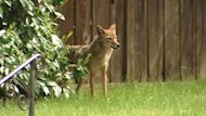 People in Gibsons, B.C., say coyotes are running in packs around town, snatching dogs and cats, and want the province to look into why the population has increased.
