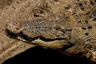 An saltwater crocodile lies in the sun on the banks of the Adelaide river near Darwin in Australia's Northern Territory in 2008. Australian authorities were Saturday searching waterways in a remote part of the country's Northern Territory for any sign of a seven-year-old girl feared taken by a crocodile, police said