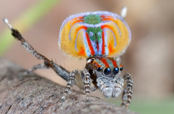The Amazing Mating Dance of the Peacock Spider