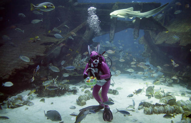 A diver dressed as the Easter Bunny swims among sharks, rays and other species of fish in the Shipwreck habitat, Thursday, April 17, 2014 at the South East Asia Aquarium of Resorts World Sentosa, a po