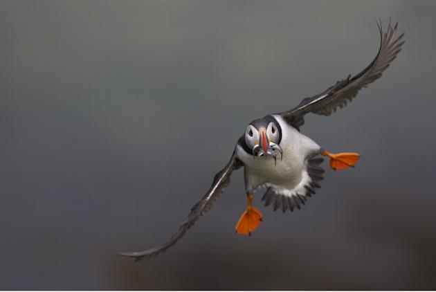 A puffin flies with a fish in its mouth in Scotland (Danny Green/Rex Features)