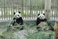 Yuan Zi (left) and Huan Huan, seen here in their quarantined enclosure at the Panda Research Base in Chengdu, Sichuan province. The pair have landed in Paris for a new life in a French zoo in a loan sealed after years of top-level negotiations between France and China
