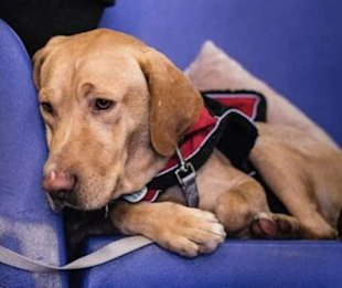 Robert Redford, a 5-year-old Labrador who loves to swim, is looking for his forever home.