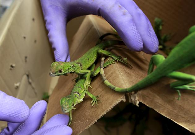 Biologist Jorge Hernandez shows four rescued baby iguanas in an office of the Ministry of Environment in San Jose