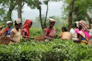 Indian women harvest tea leaves at a plantation in Kondoli, 17 km from Nagaon in Assam state. A tea plantation owner and his wife were burned to death in Assam's tea-growing Tinsukia district, 500 km east of the state's main city of Guwahati