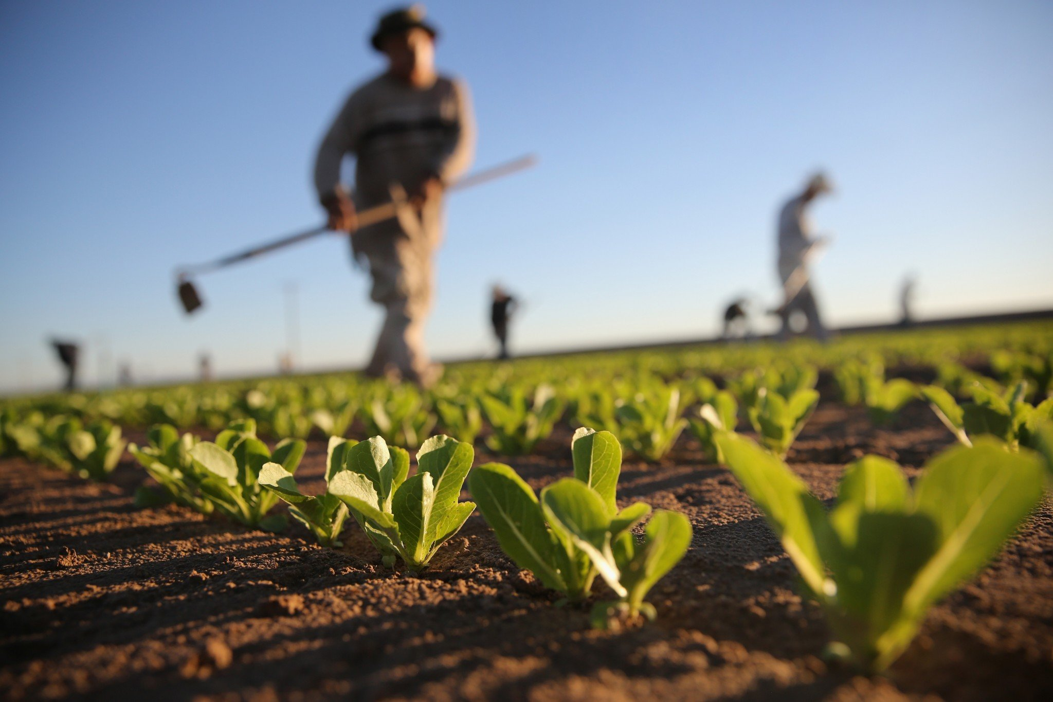 Mexican agricultural workers cultivate romaine lettuce on a farm on October 8, 2013 in Holtville, California. (Photo by John Moore/Getty Images)