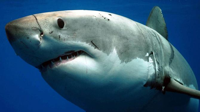 Shark Week begins August 2 on the Discovery Channel. Day of the Shark 2
