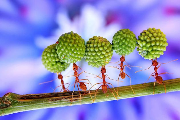 Buggy hell! These ants look like they need a change of career from worker ants to circus ants as they perform a series of daredevil tricks. The incredible stunts range from balancing giant seed pods f