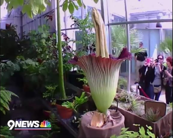 39 Corpse Flower 39 Blooms In Denver How To Watch Live Yahoo News Canada