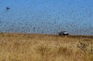 A swarm of Red Locusts pass near the Madagascar town of Sakaraha, on April 27, 2013. Experts estimate there are currently 100 swarms across Madagascar, made up of about 500 billion ravenous locusts
