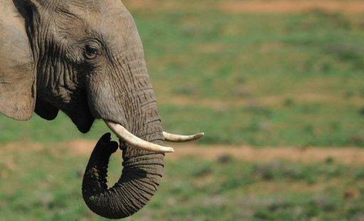 An elephant is pictured at Addo Elephant National Park in the Eastern Cape region of South Africa, near Port Elizabeth, on July 9. Botswana, one of Africa's premier safari destinations, said Thursday it will ban commercial hunting of wildlife because of a decline in animal populations.