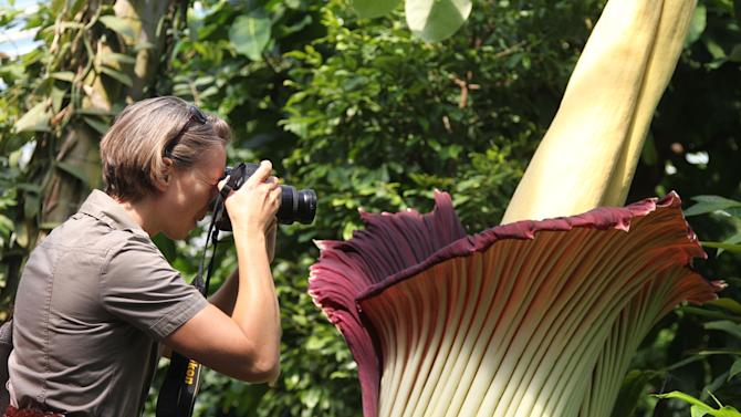 A woman takes a photograph of the Amorphophallus Titanum, also known as the Titan Arum or Corpse flower, because of it's smell, one of the world's largest flowers, at the National Botanic Garden in Meise near Brussels, Monday, July 8, 2013. The rare phallus-like flower that springs from the plant only survives about 72 hours. (AP photo/Yves Logghe)