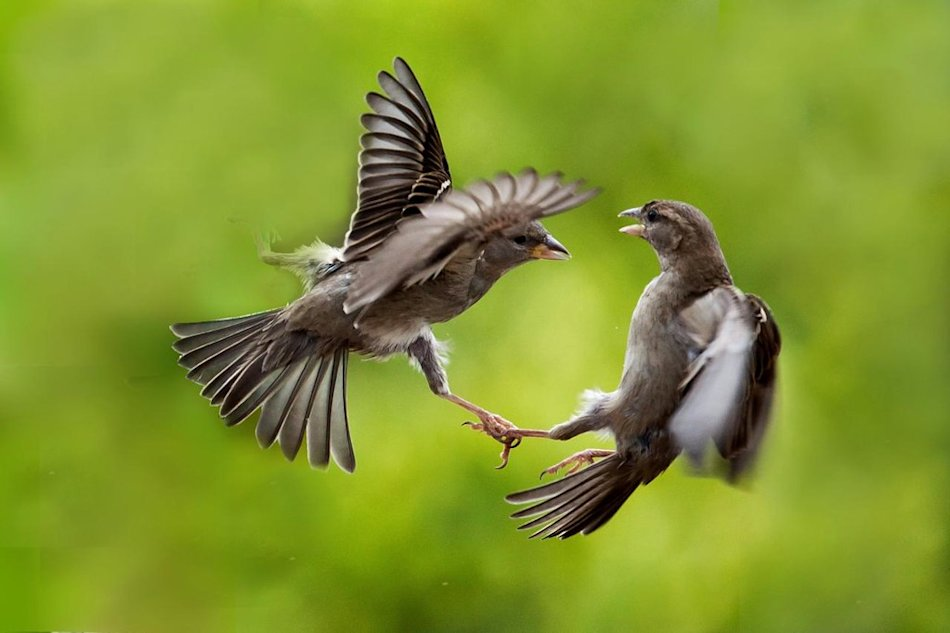 Sparrows a heated discussion - Canon 5D Mark II