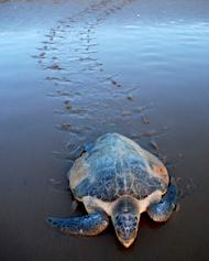 An Olive Ridley Turtle returns to the sea after laying eggs on Rushikulya Beach, some 140 kilometres (88 miles) south-west of Bhubaneshwar, eastern India, on March 8, 2011. Conservationists have expressed alarm over the low number of turtles arriving on the coast of east India and Bangladesh for the nesting season, blaming overfishing and climate change for the decline