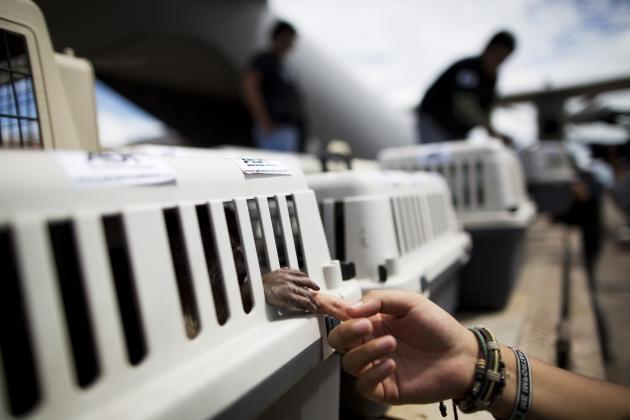In this April 18, 2015 photo, a monkey holds onto the finger of an Animal Defenders International worker, as pet carriers housing rescued animals are unloaded from a military aircraft at the airport i