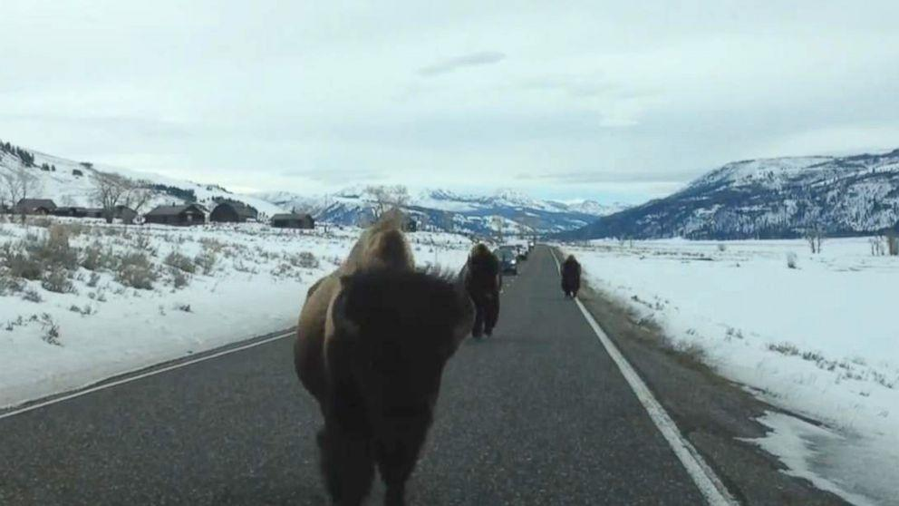 American Bison Slams Into Parked SUV in Yellowstone National Park