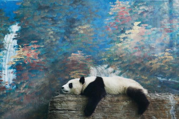 A giant panda rests at the Beijing Zoo on June 5, 2012 in Beijing, China. With an estimated 1,600 living in the wild, the endangered giant panda dwell in a few mountain ranges in central China, in Sichuan, Shaanxi, and Gansu provinces. (Photo by Lintao Zhang/Getty Images)
