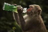 A rhesus macaque monkey drinks from a bottle in Hong Kong in 2011. A low-calorie diet boosts health but does not prolong life, at least not in rhesus monkeys, scientists reported Wednesday in a new study into a long-held link between food restriction and longevity