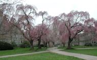 This undated photo shows weeping cherry trees in Bryn Mawr, Penn. George Washington could never have cut down cherry trees like the ones depicted — not because they are so large but because these Asian species didn't arrive in the States until the late 1800s. (Lee Reich via AP)