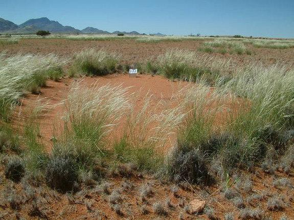 """Mysterious bare spots called """"fairy circles"""" dotting the sandy desert grasslands of Nambia have long stumped scientists who have no idea how the strange patterns form."""