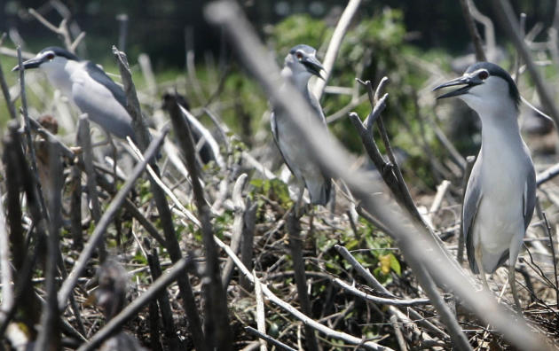 Grey herons guard their nests at the Candaba Swamp and Bird Sanctuary in Pampanga, April 15, 2012. Grey herons are among the 80 species of migratory birds that regularly flock to the Candaba Swamp when it is winter season in other countries. (Mike Alquinto, NPPA Images)