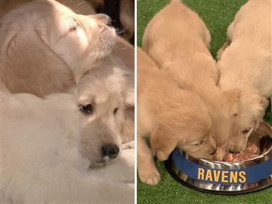 Jimmy Fallon's Puppies 'predict' Super Bowl Winner