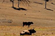 Photo illustration of cattle on a farm near Nannup in the south west corner of Western Australia. Australia's conservative opposition on Friday earmarked tighter scrutiny of foreign investment in agriculture as a priority if the party is elected to government next year as recent polls suggest