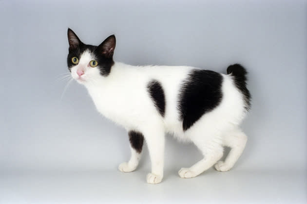 Japanese Bobtail — One Lucky Cat