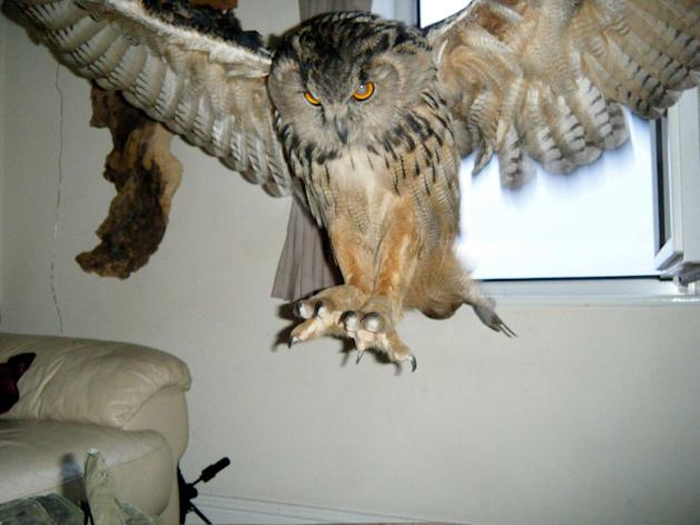 The owl has been captured and now lives in a sanctuary in Chulmleigh, Devon (SWNS)