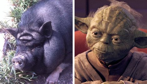 The pig that looks like Jedi Master Yoda...