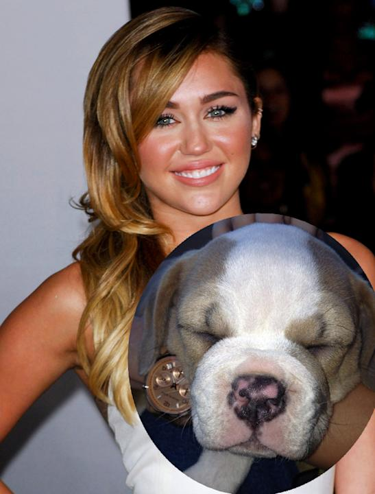 Celebrity pets: Aww, Miley Cyrus bought her boyfriend Liam Hemsworth this cute puppy for his 22nd birthday. She's named him Zigggy.