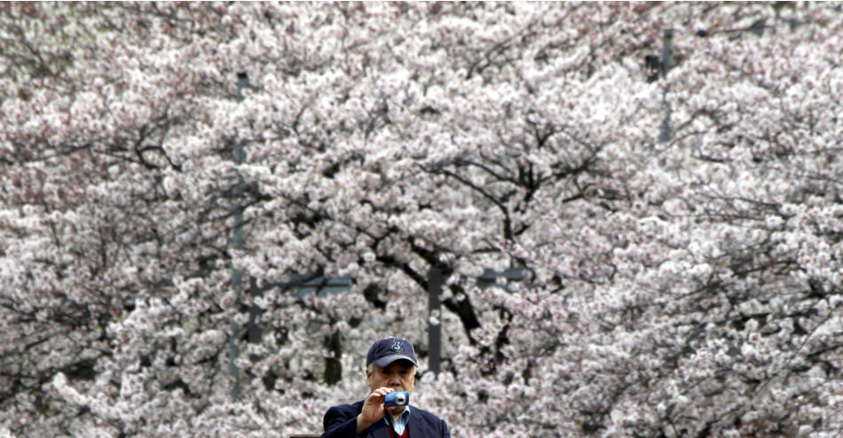 FILE - In this April 3, 2010 file photo, a man takes pictures of cherry blossoms along the Oka River in Yokohama, near Tokyo. The cherry trees will blossom soon in Japan. In this time of national grie