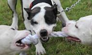 Dog Attacks: Call For Tougher Laws