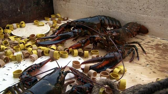 Keeping lobster industry alive in Maine