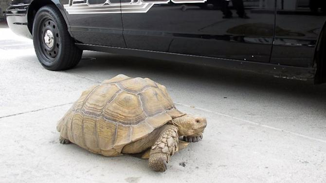 Roaming 150-Pound Tortoise Goes on a City Adventure