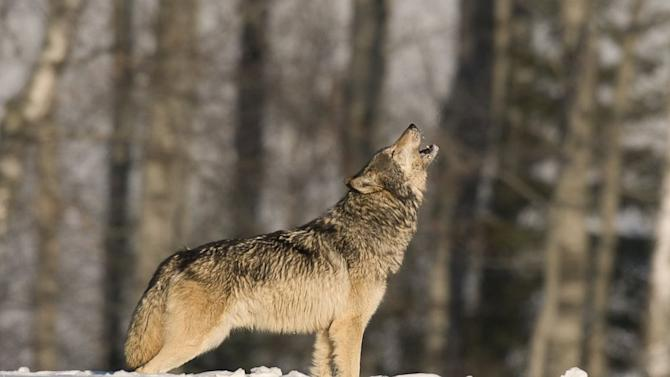Why do Wolves Howl? Love, Scientists Say