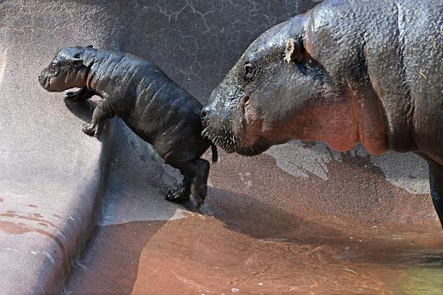An adorable baby pygmy hippo, Zola, is nudged along by its mother Zsa Zsa in Lowry Park Zoo, Florida (Caters)