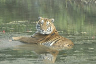 Conservation biologist Firoz Ahmed caught a tiger resting in the water in Kaziranga National Park in India.