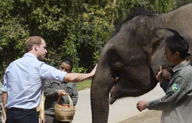 """Britain's Prince William (L), Duke of Cambridge, touches elephant """"Ranran"""" as he feeds it during his visit to an elephant sanctuary in Xishuangbanna, Yunnan province"""