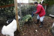 In this Monday, Nov. 28, 2011 photo, Jennie Grant puts yard cuttings into a holder for the morning feeding of her goats, Snowflake, foreground, and Eloise, at her home in Seattle. No stranger to urban farming, Grant already had chickens, bees, and a large vegetable garden before she added goats to her lineup. After doing some research, she cleared a 20-by- 20-foot patch of her yard, fenced it in, and added a shed, feeding stations, and the goat equivalent of a jungle gym. (AP Photo/Elaine Thompson)
