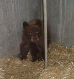 An orphaned bear cub has been transferred to a zoo after entering a home and eating the homeowners' chocolate cake.