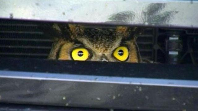 Driver Hits Owl That Survives Miles in SUV Grill